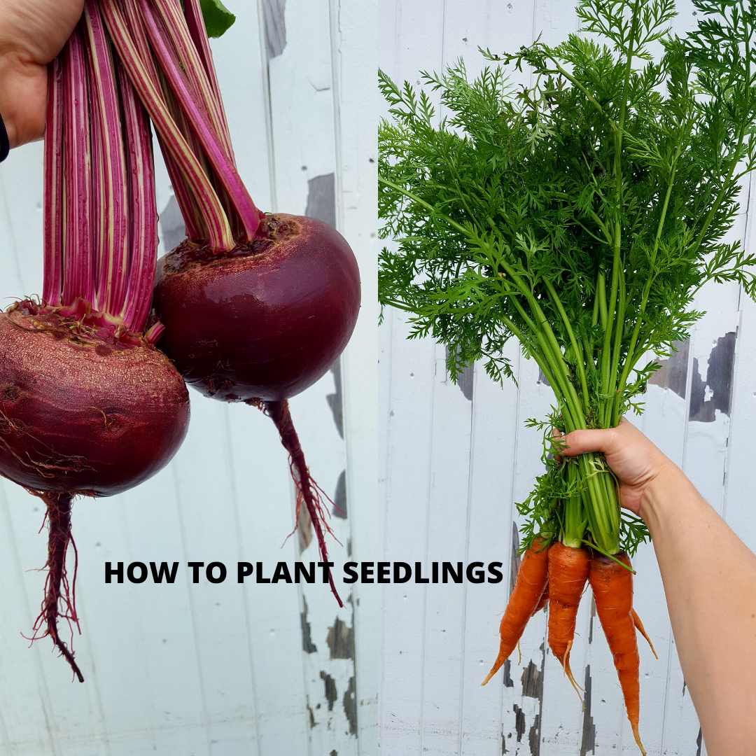 How to plant seedlings